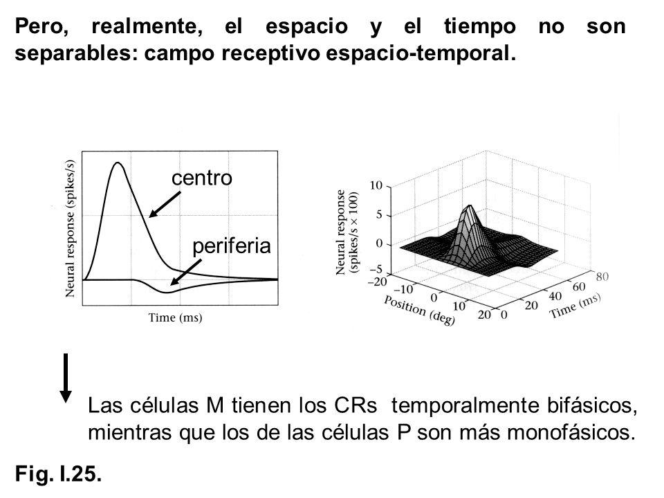 Pero, realmente, el espacio y el tiempo no son separables: campo receptivo espacio-temporal.