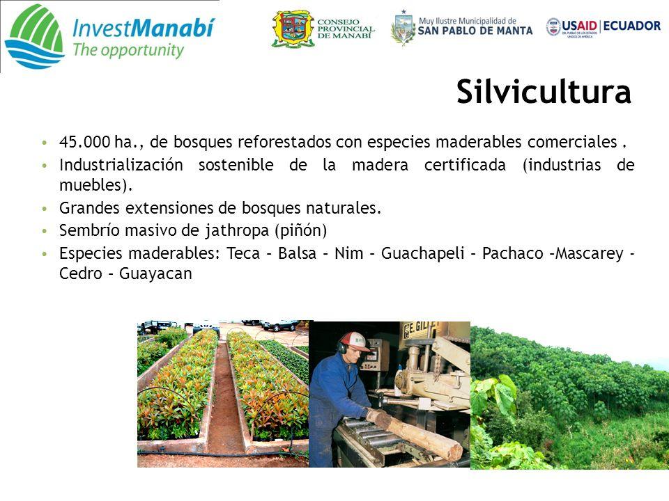 Silvicultura 45.000 ha., de bosques reforestados con especies maderables comerciales .