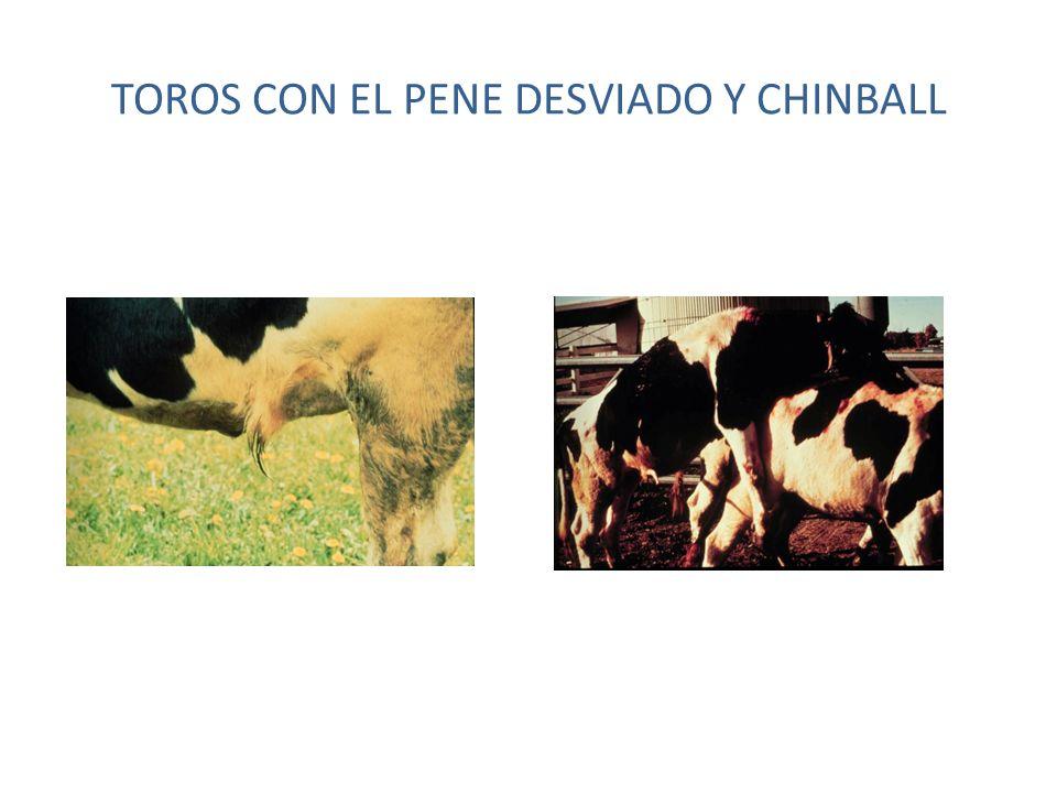 TOROS CON EL PENE DESVIADO Y CHINBALL