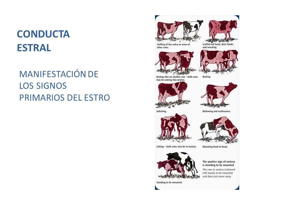 CONDUCTA ESTRAL MANIFESTACIÓN DE LOS SIGNOS PRIMARIOS DEL ESTRO