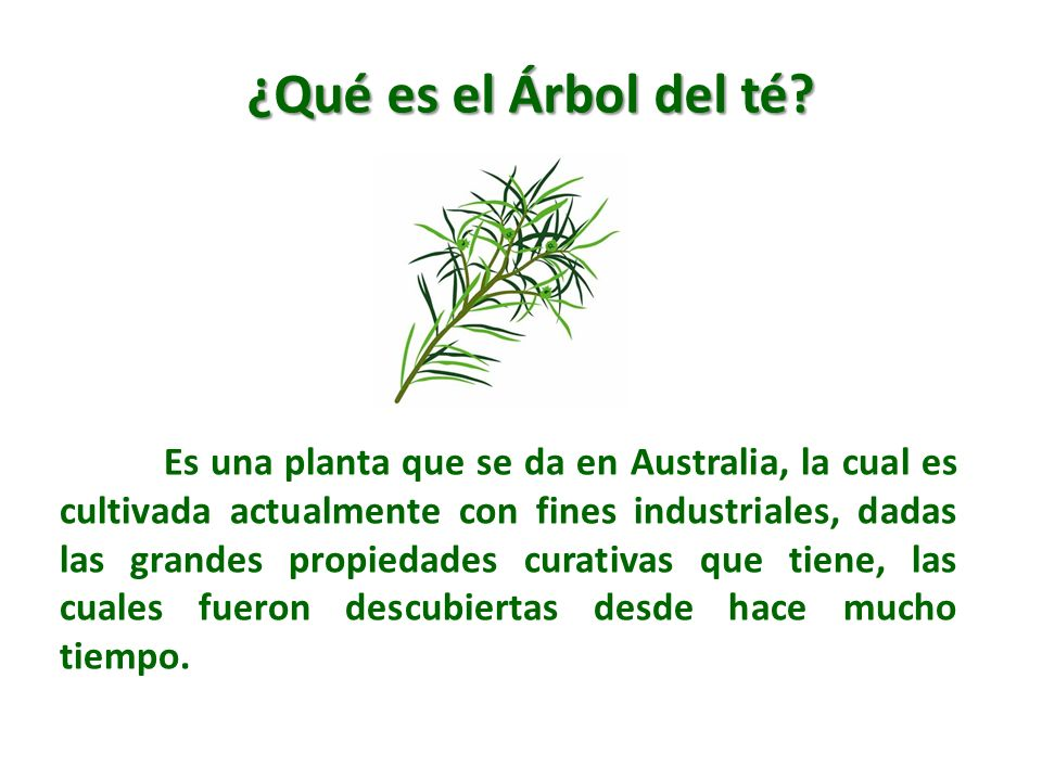 ¿Qué es el Árbol del té