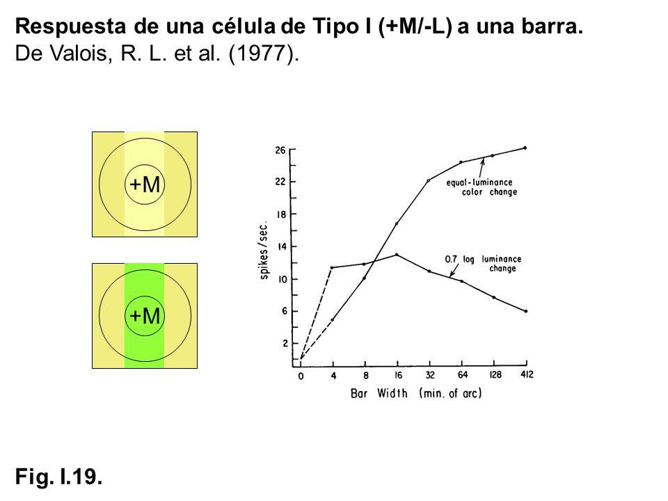 Respuesta de una célula de Tipo I (+M/-L) a una barra.