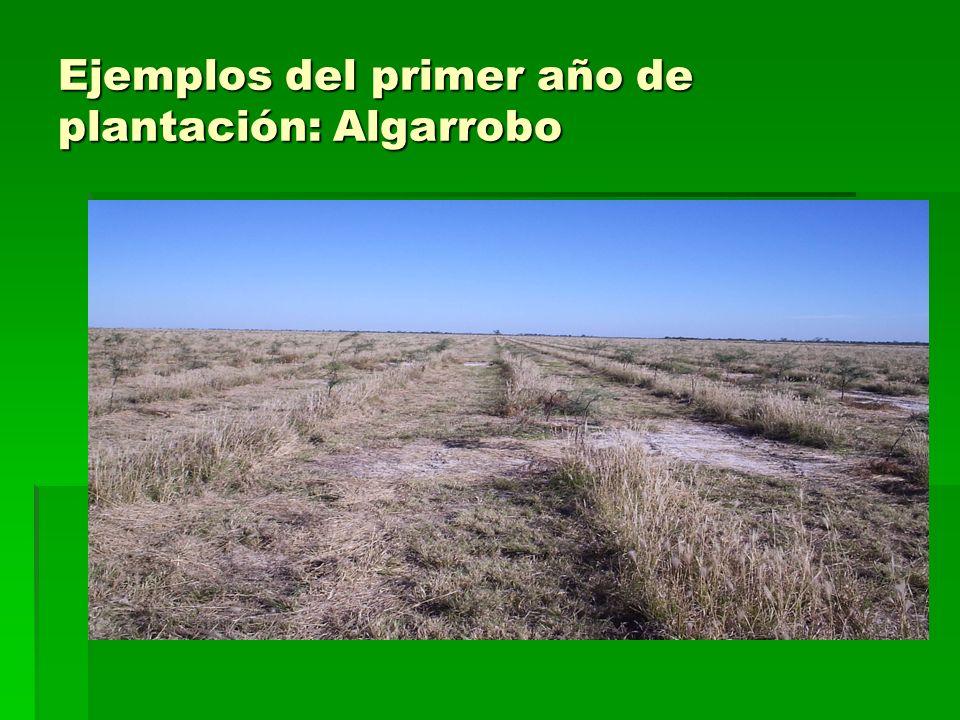 Ejemplos del primer año de plantación: Algarrobo