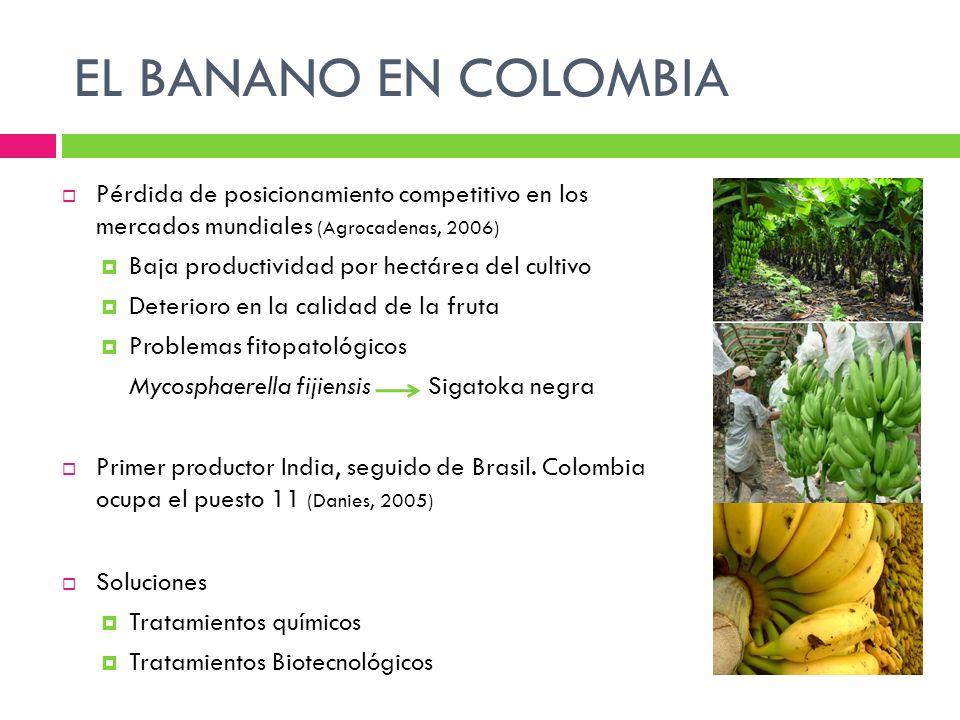 EL BANANO EN COLOMBIA Pérdida de posicionamiento competitivo en los mercados mundiales (Agrocadenas, 2006)