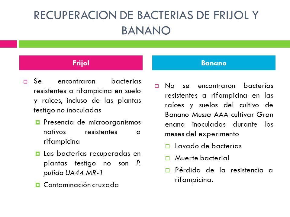 RECUPERACION DE BACTERIAS DE FRIJOL Y BANANO