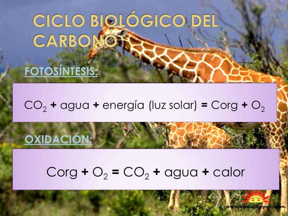 CICLO BIOLÓGICO DEL CARBONO