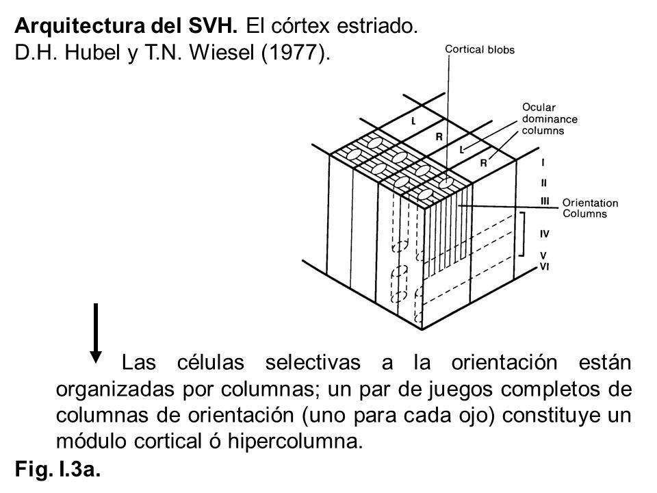 Arquitectura del SVH. El córtex estriado.