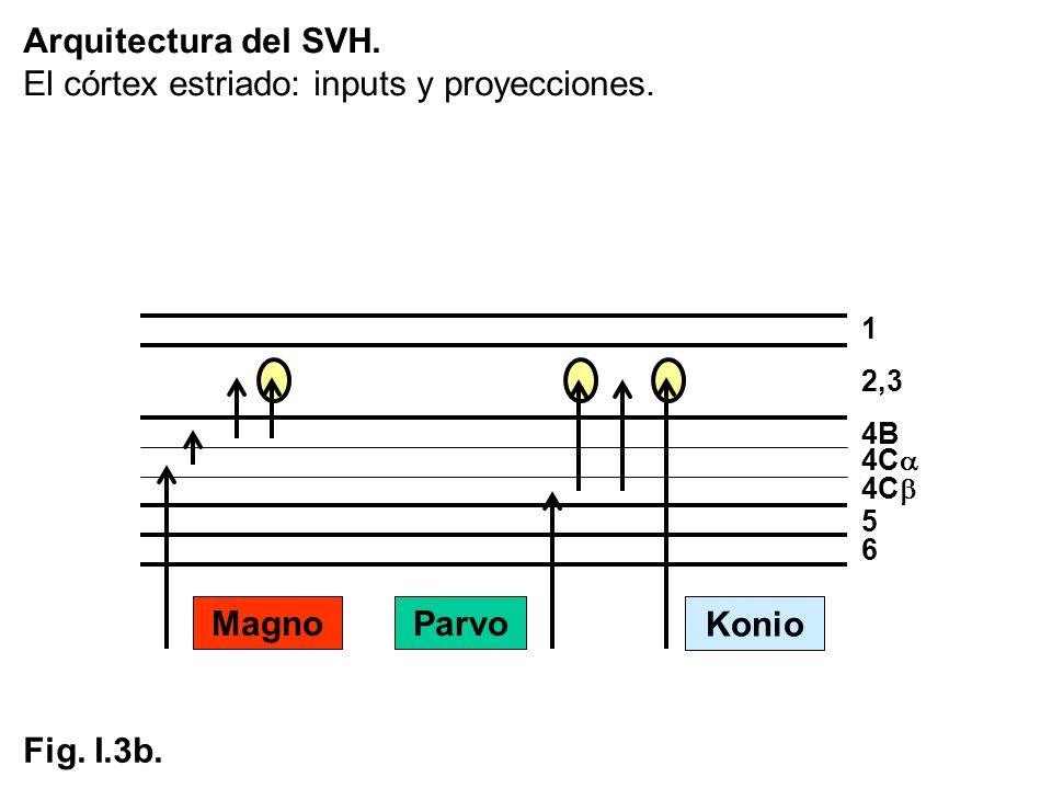 El córtex estriado: inputs y proyecciones.
