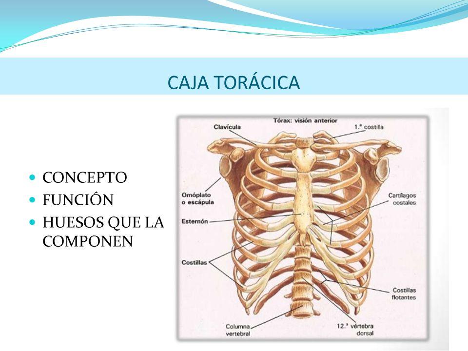 Excelente Caja Torácica En El Cuerpo Humano Molde - Anatomía de Las ...