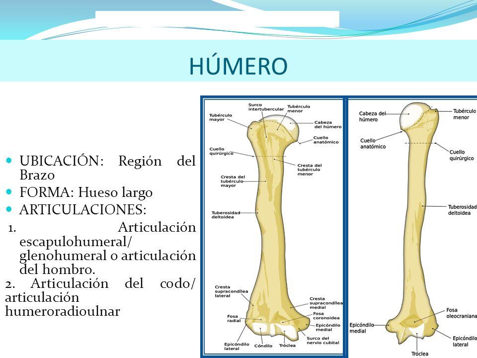 Asombroso Ubicación Húmero Modelo - Anatomía de Las Imágenesdel ...