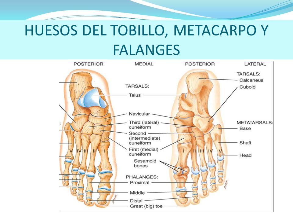 Perfecto Diagrama De Huesos Del Tobillo Galería - Anatomía de Las ...