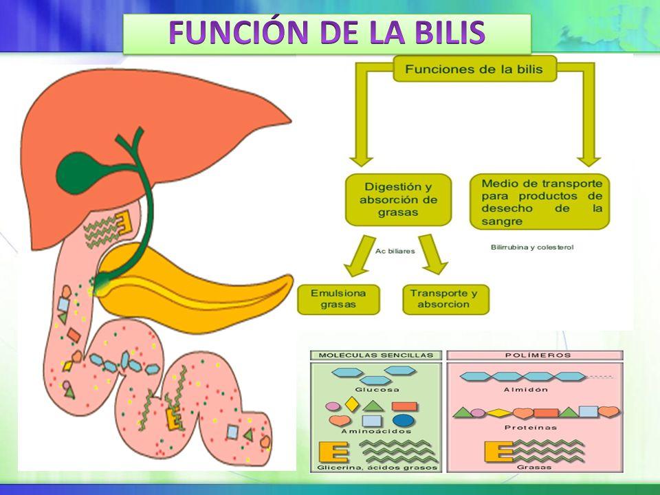 Atractivo Función De La Bilis Viñeta - Anatomía de Las Imágenesdel ...