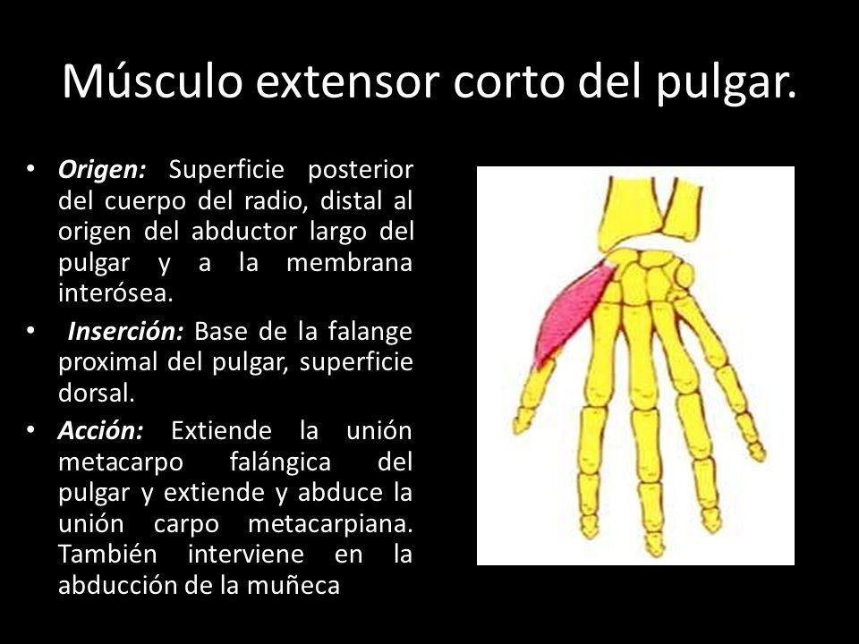 Perfecto Articulaciones Del Pulgar Diagrama Anatomía Colección de ...