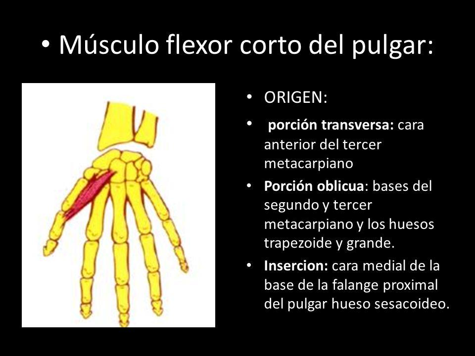 Moderno Los Músculos De La Anatomía Del Pulgar Colección - Anatomía ...