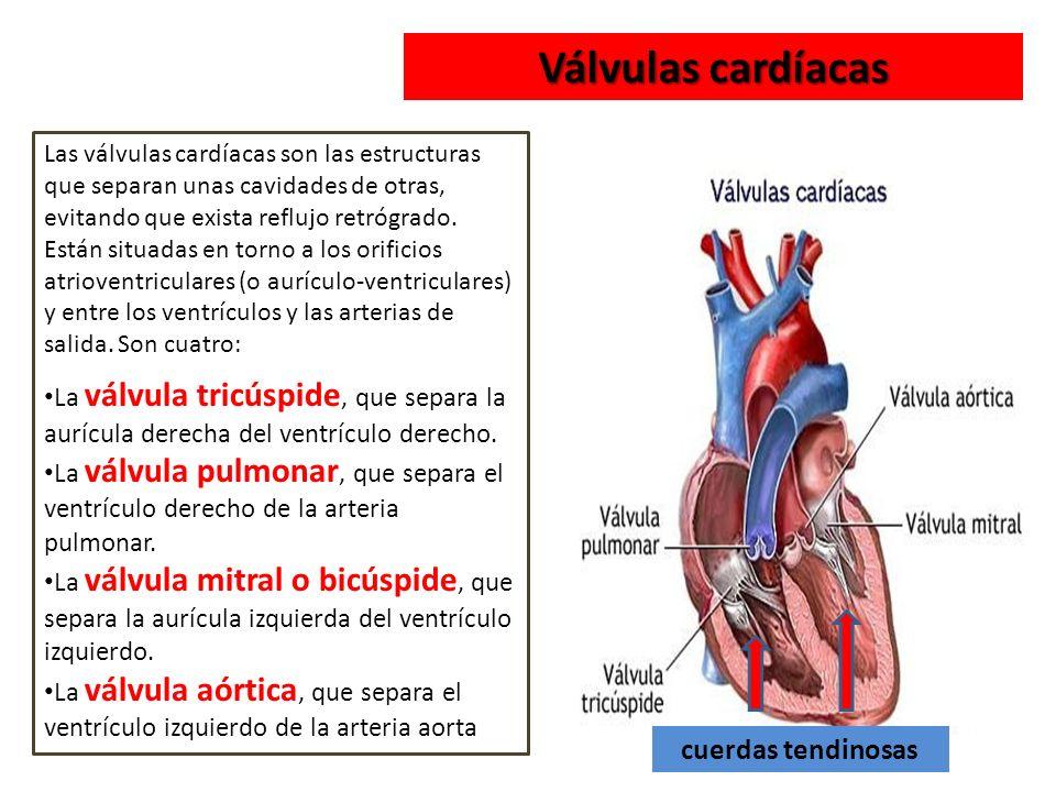 Vistoso La Función De Las Cuerdas Tendinosas Composición - Anatomía ...