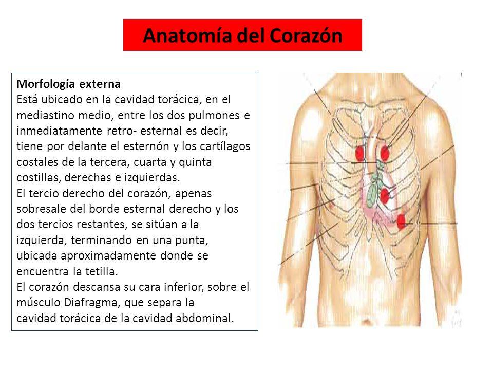 Perfecto Corazón Anatomía De Superficie Molde - Imágenes de Anatomía ...