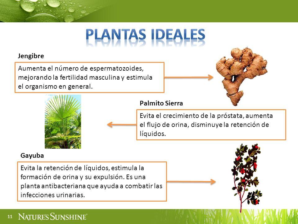 PLANTAS ideales Jengibre