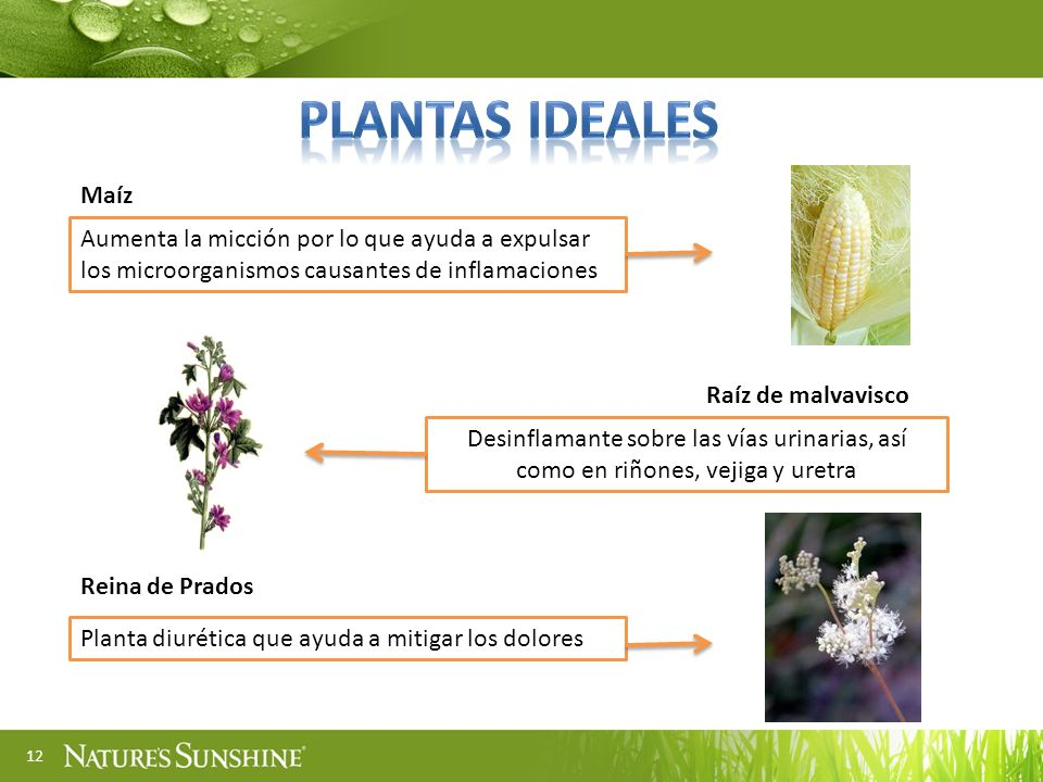 PLANTAS ideales Maíz. Aumenta la micción por lo que ayuda a expulsar los microorganismos causantes de inflamaciones.