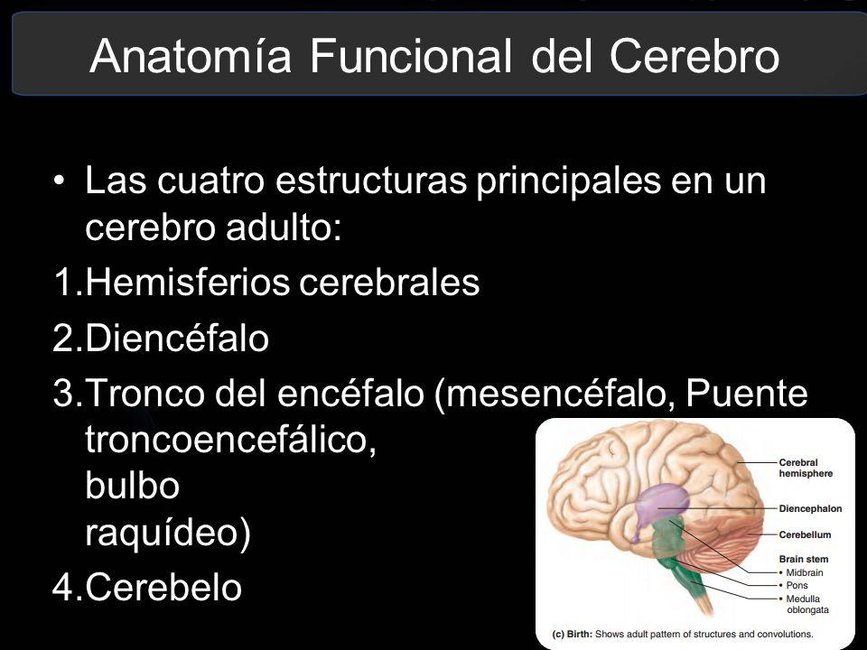 Encantador Protuberancia Definición Anatomía Colección - Imágenes de ...