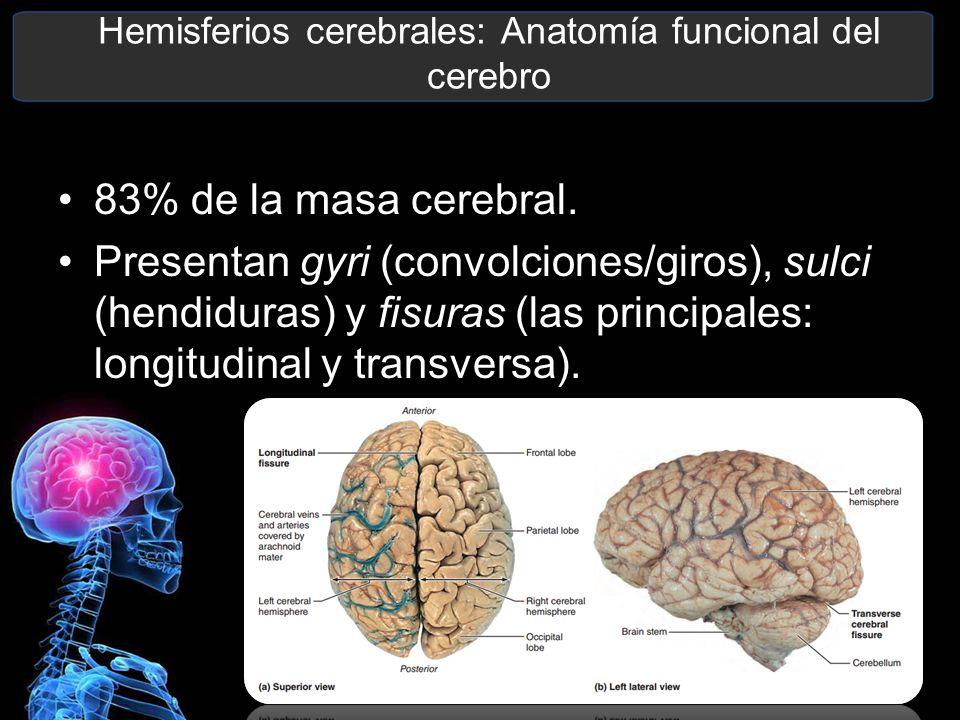 Magnífico Hemisferios Cerebrales Anatomía Modelo - Imágenes de ...