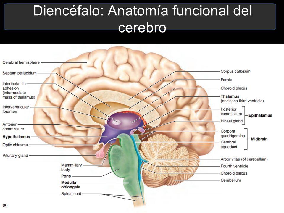 Lujoso Arbor Vitae Anatomía Regalo - Imágenes de Anatomía Humana ...