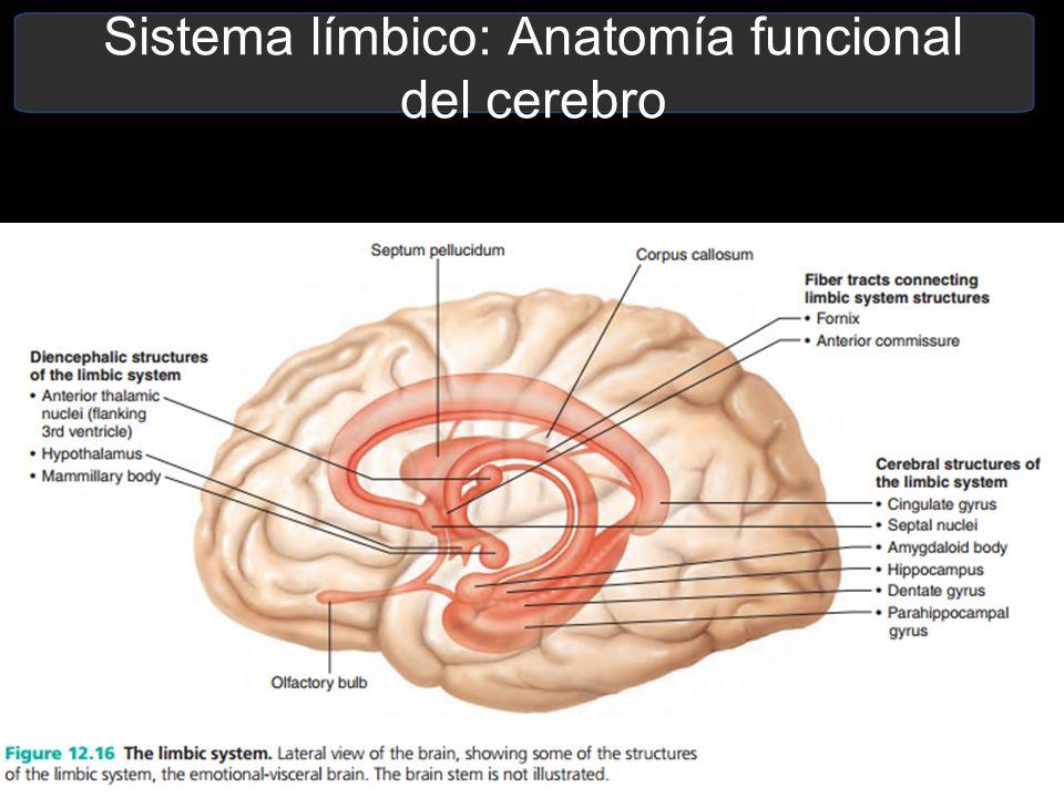 Atractivo Anatomía Funcional Del Cerebelo Ilustración - Anatomía de ...