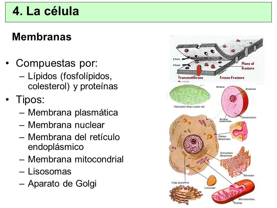4. La célula Membranas Compuestas por: Tipos:
