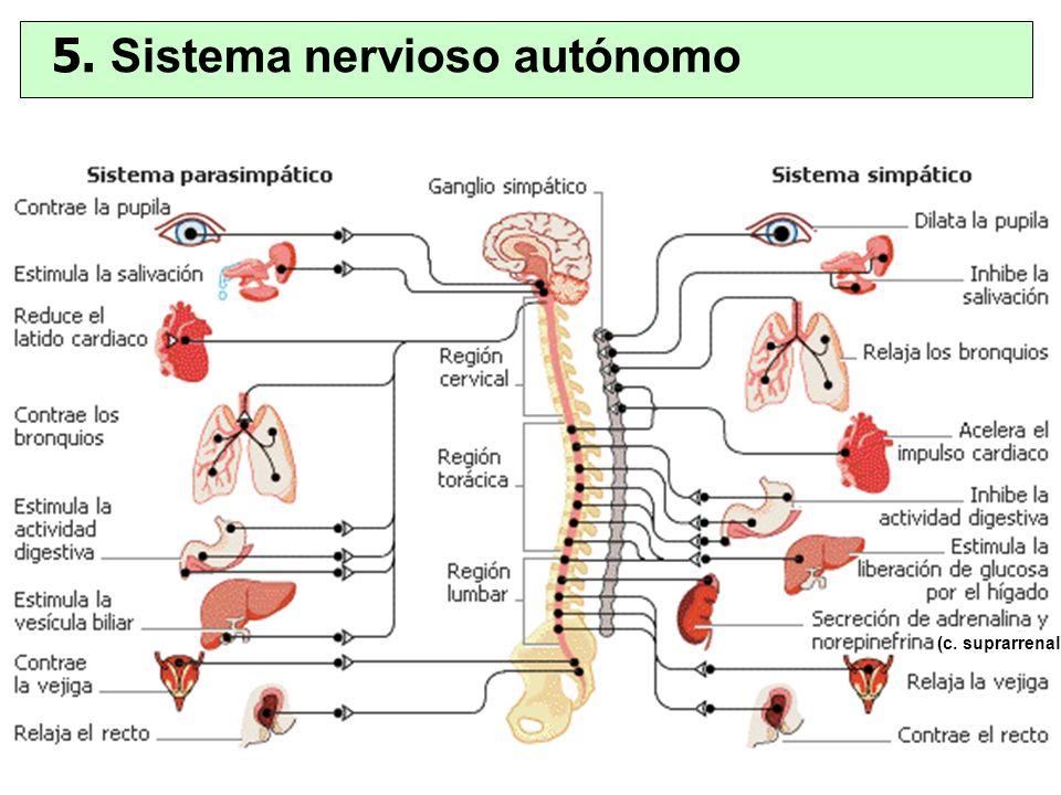 5. Sistema nervioso autónomo