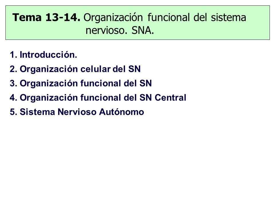 Tema 13-14. Organización funcional del sistema nervioso. SNA.
