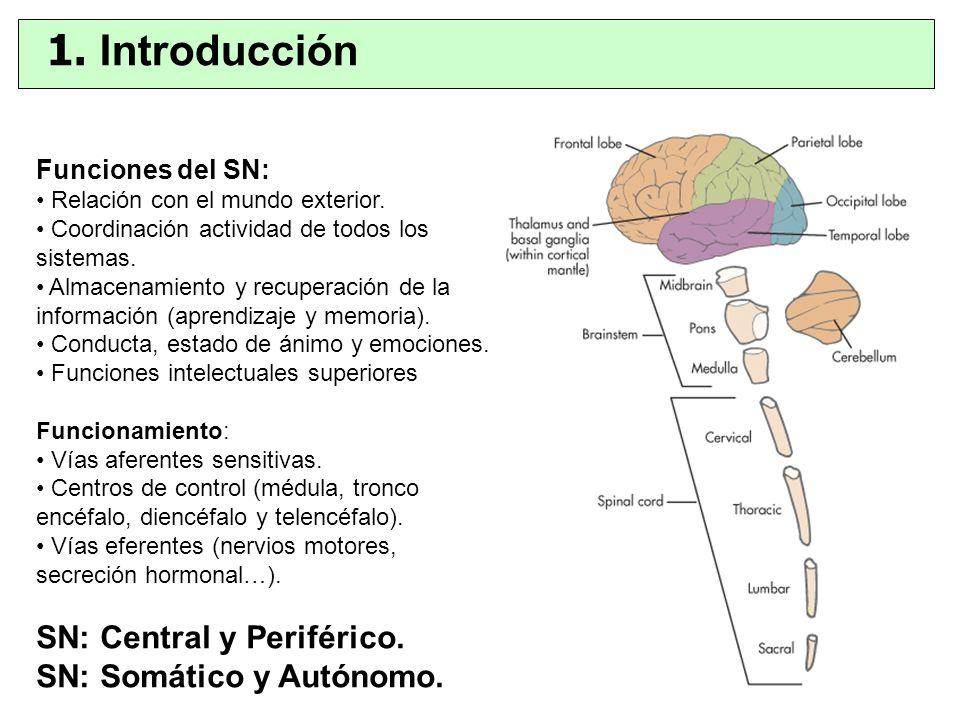 1. Introducción SN: Central y Periférico. SN: Somático y Autónomo.