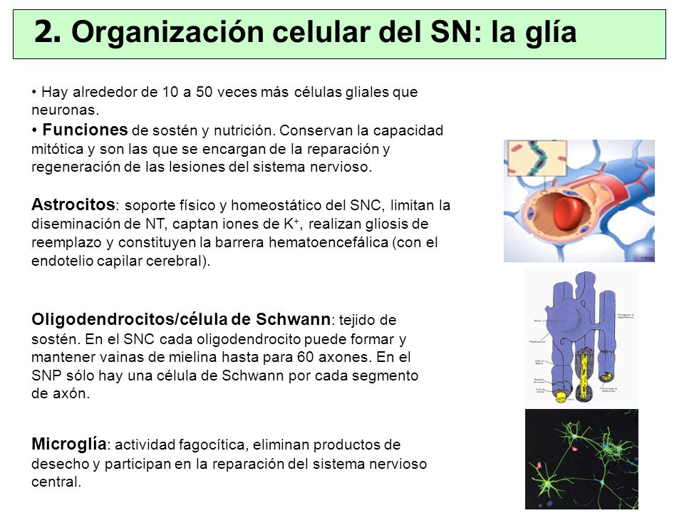2. Organización celular del SN: la glía
