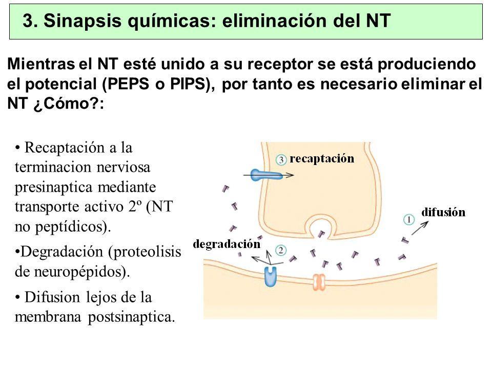 3. Sinapsis químicas: eliminación del NT