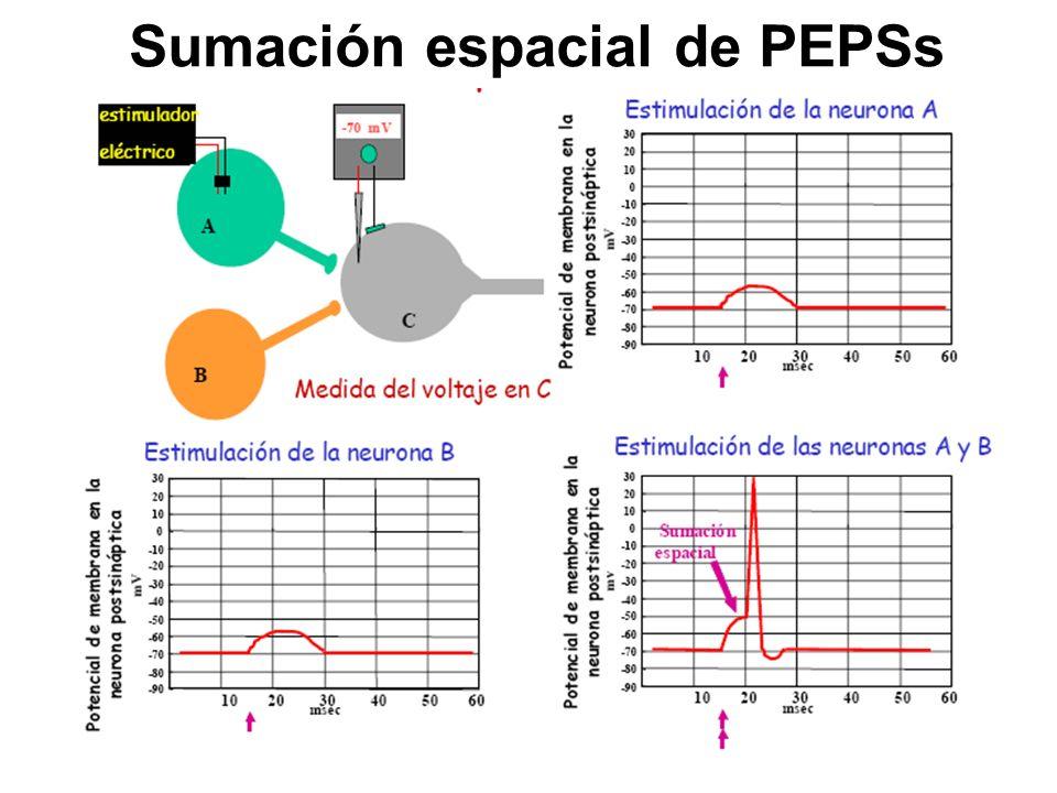 Sumación espacial de PEPSs