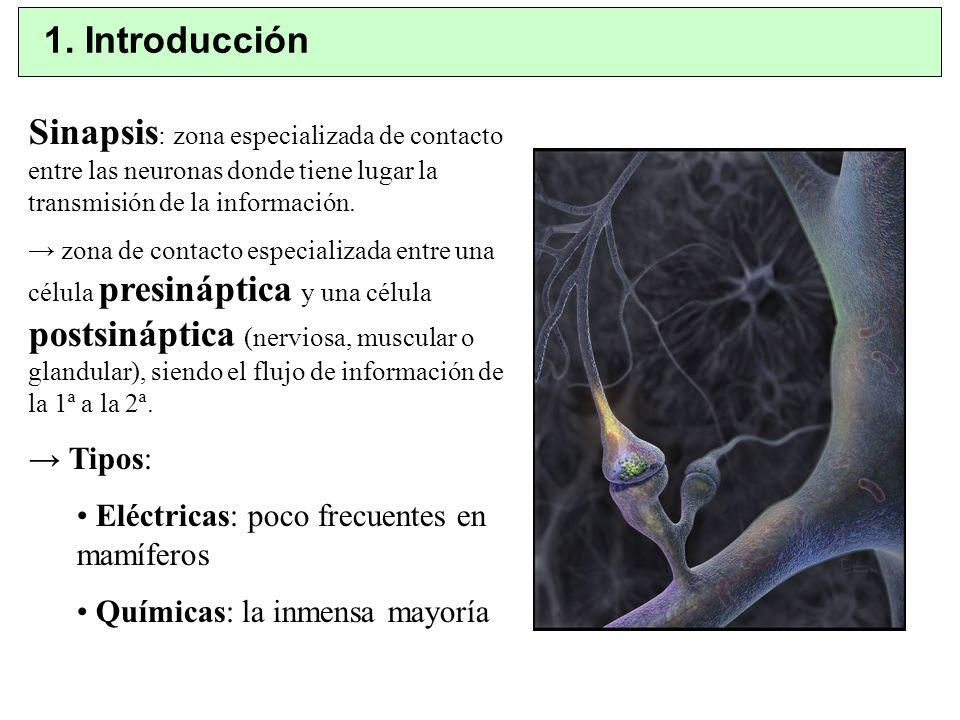 1. Introducción Sinapsis: zona especializada de contacto entre las neuronas donde tiene lugar la transmisión de la información.