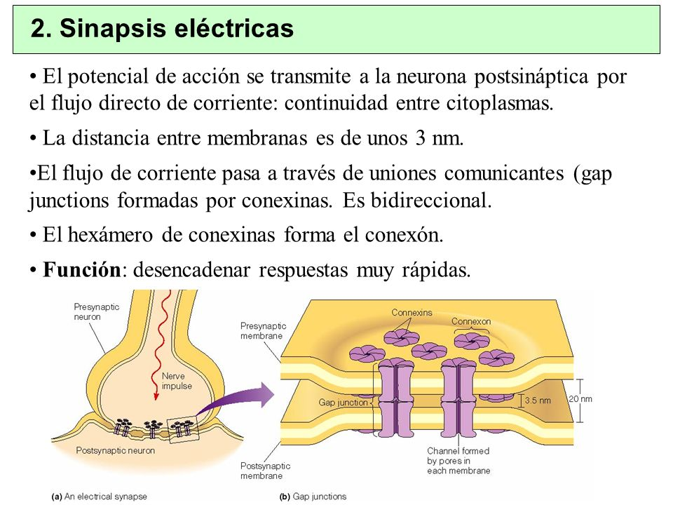 2. Sinapsis eléctricas