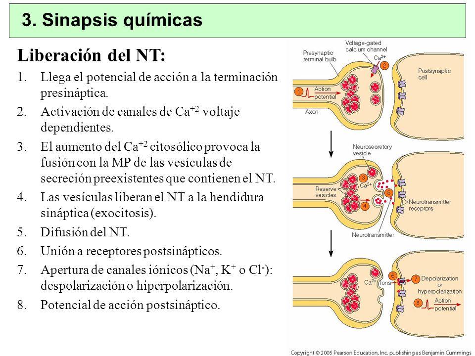 3. Sinapsis químicas Liberación del NT:
