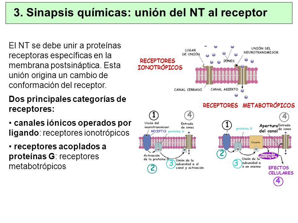 3. Sinapsis químicas: unión del NT al receptor