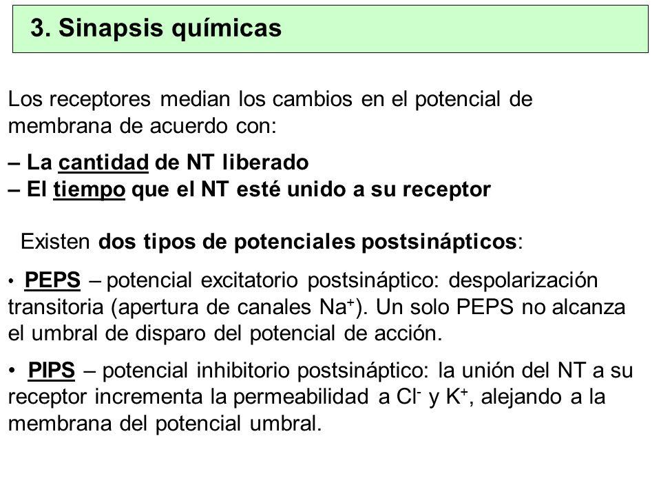 3. Sinapsis químicas Los receptores median los cambios en el potencial de membrana de acuerdo con: – La cantidad de NT liberado.