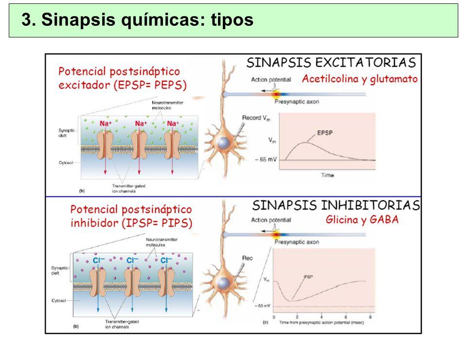 3. Sinapsis químicas: tipos