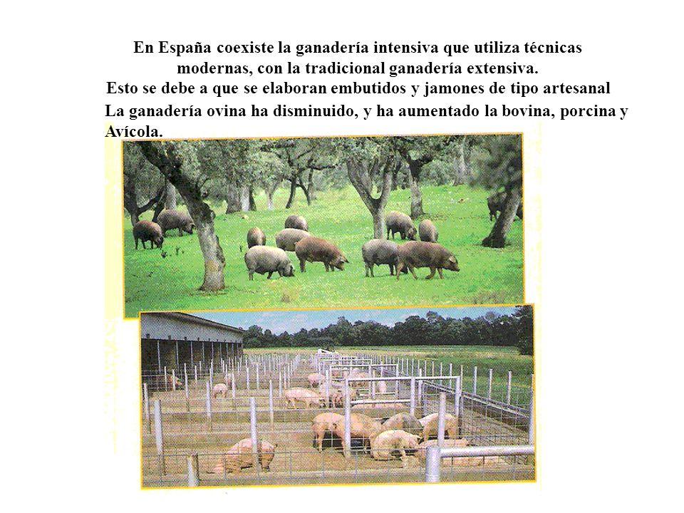 En España coexiste la ganadería intensiva que utiliza técnicas modernas, con la tradicional ganadería extensiva.