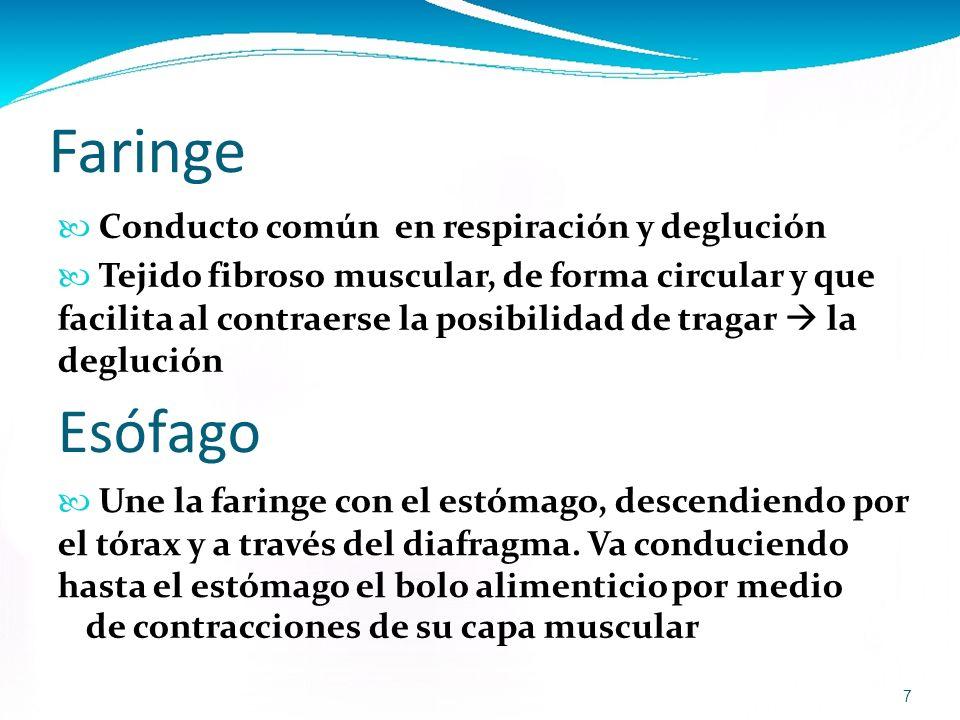 Atractivo Garganta Y Esófago Anatomía Bandera - Imágenes de Anatomía ...