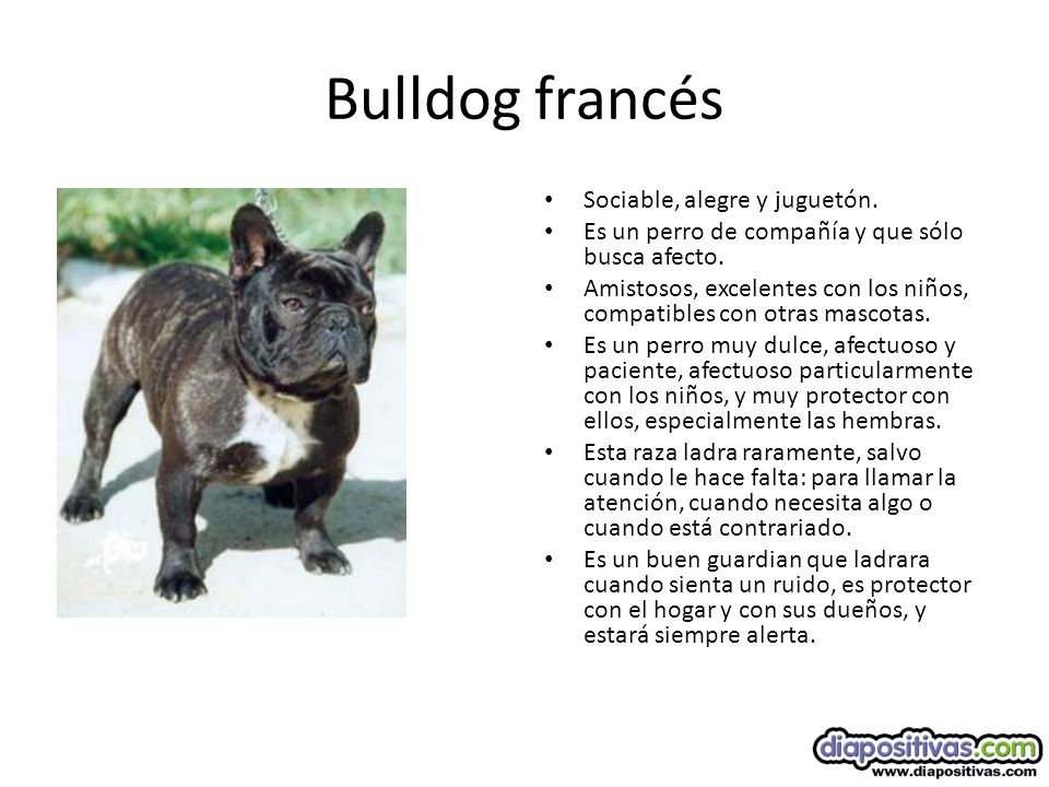 Bulldog francés Sociable, alegre y juguetón.