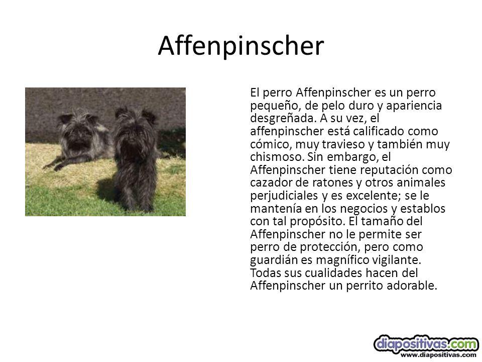 Affenpinscher