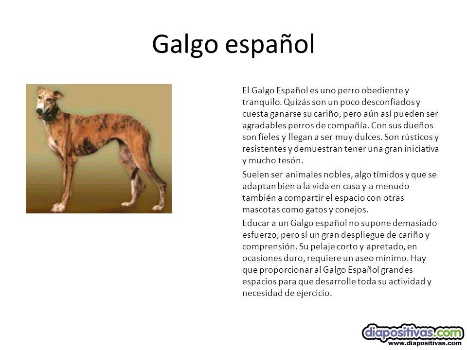 Galgo español