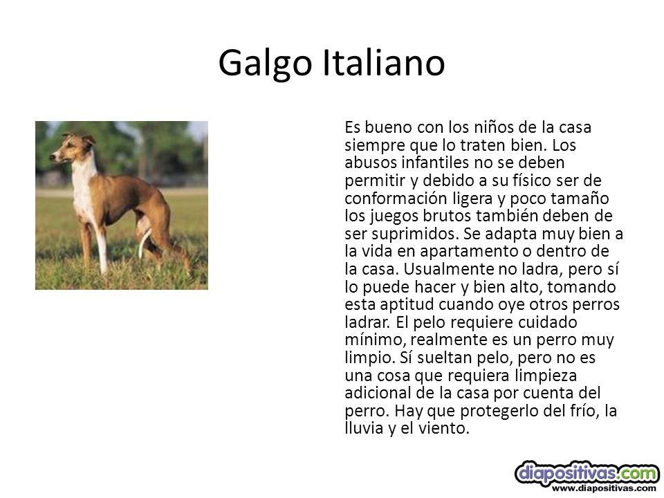 Galgo Italiano