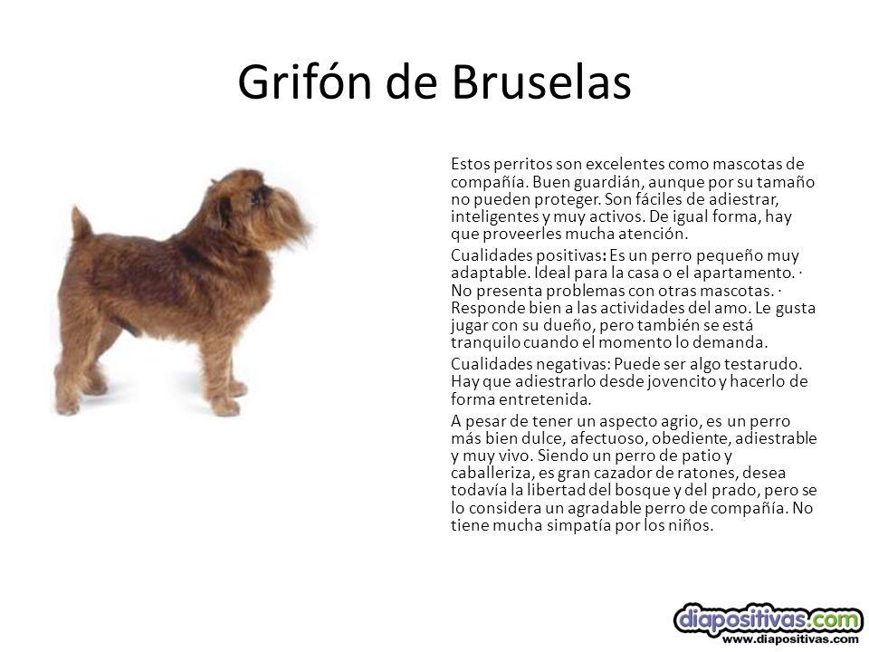 Grifón de Bruselas