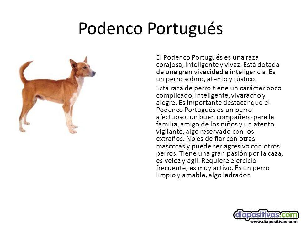 Podenco Portugués
