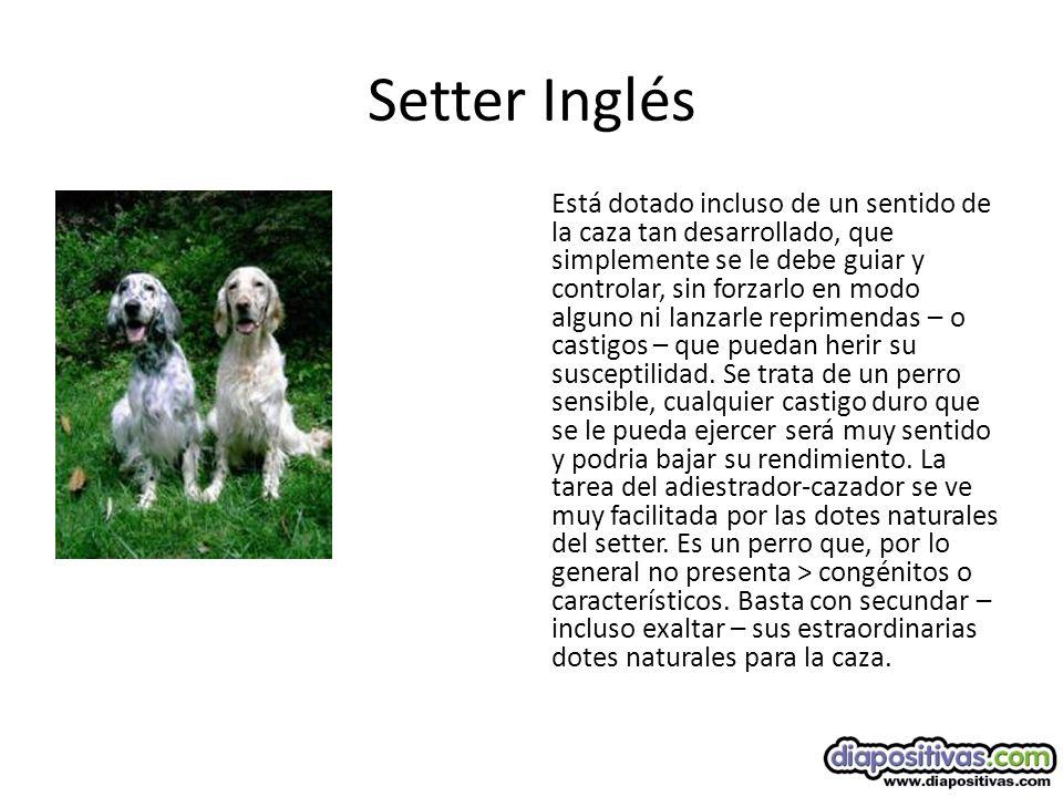 Setter Inglés