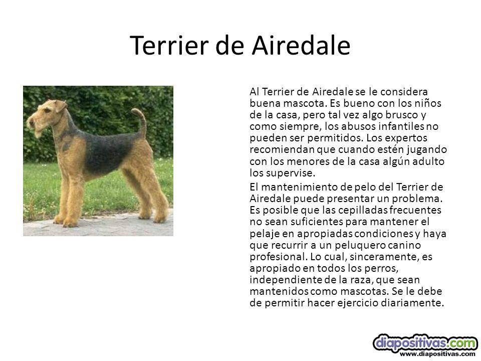 Terrier de Airedale