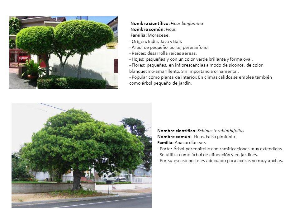 Nombre científico: Ficus benjamina